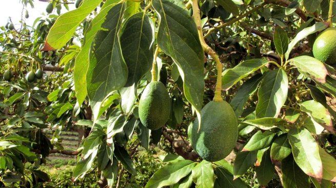 Cómo hacer que mi árbol de aguacate dé fruto