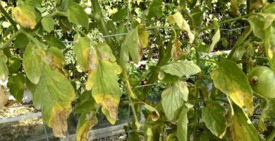 cómo combatir el mildiu