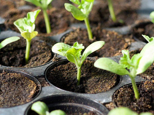 cómo germinar semillas de limón paso a paso
