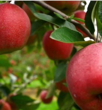 cómo germinar semillas de manzana