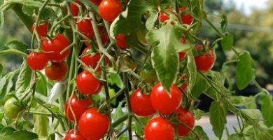 cómo germinar semillas de tomate cherry