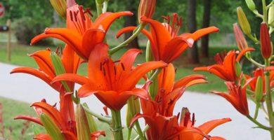 cuándo florecen los lirios