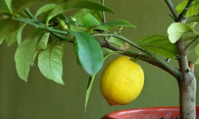 cuánto tarda en dar limones un limonero