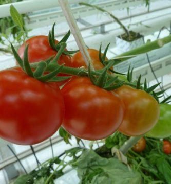 enfermedades del tomate en invernadero