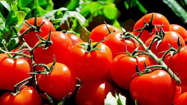 germinar semillas de tomate cherry en servilleta