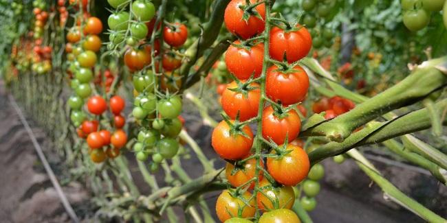 medidas para un invernadero de tomate
