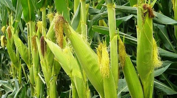 plagas del maíz y su control biológico