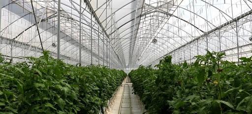 principales enfermedades del tomate en invernadero
